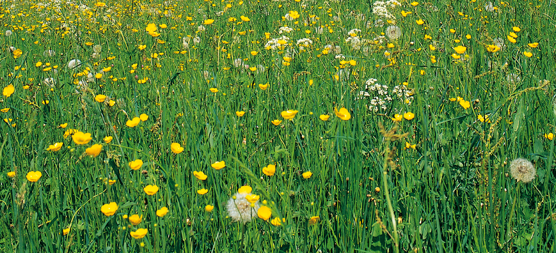 Löwenzahnwiese mit gelben Blüten und einigen Pusteblumen