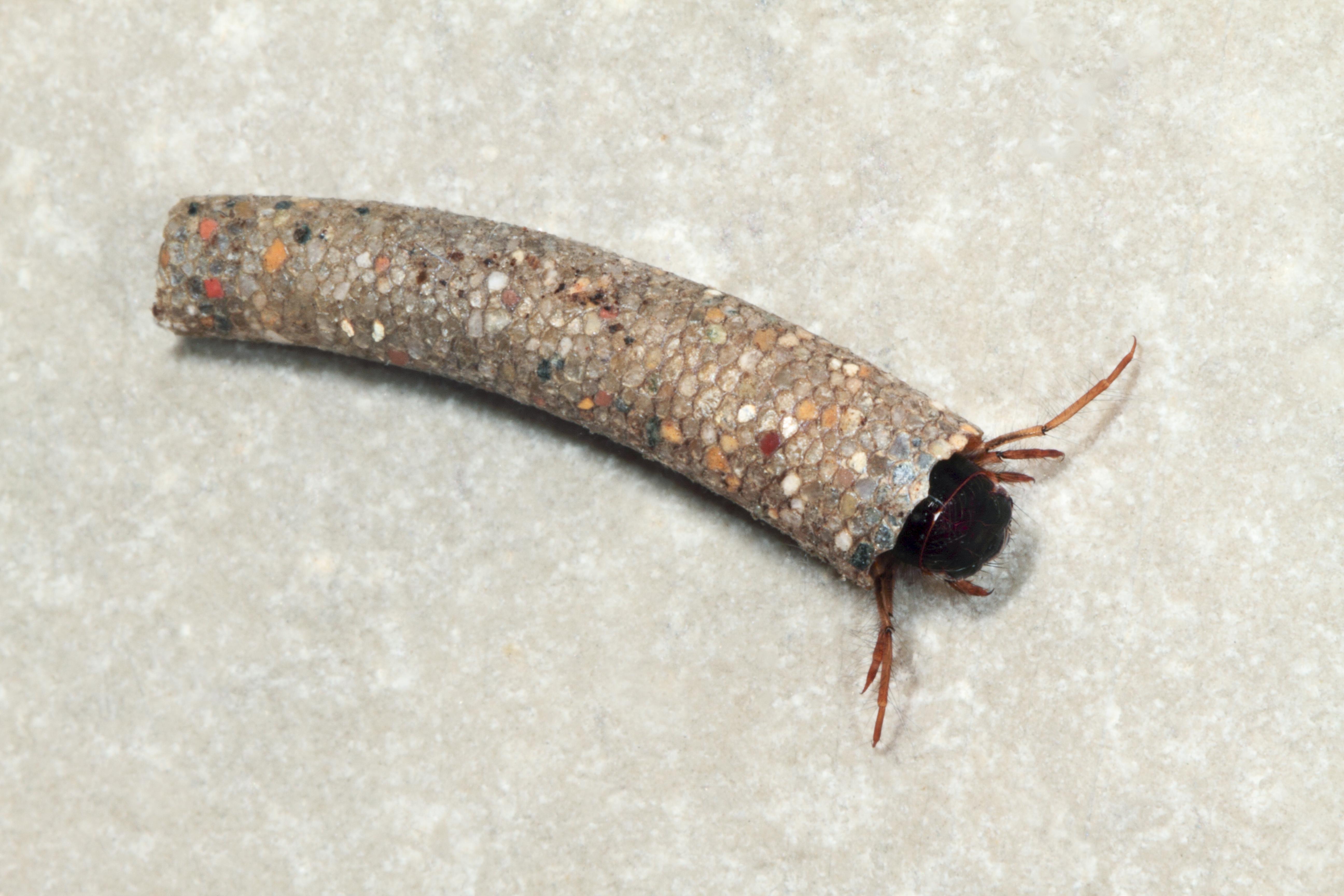 Bild einer Köcherfliegenlarve