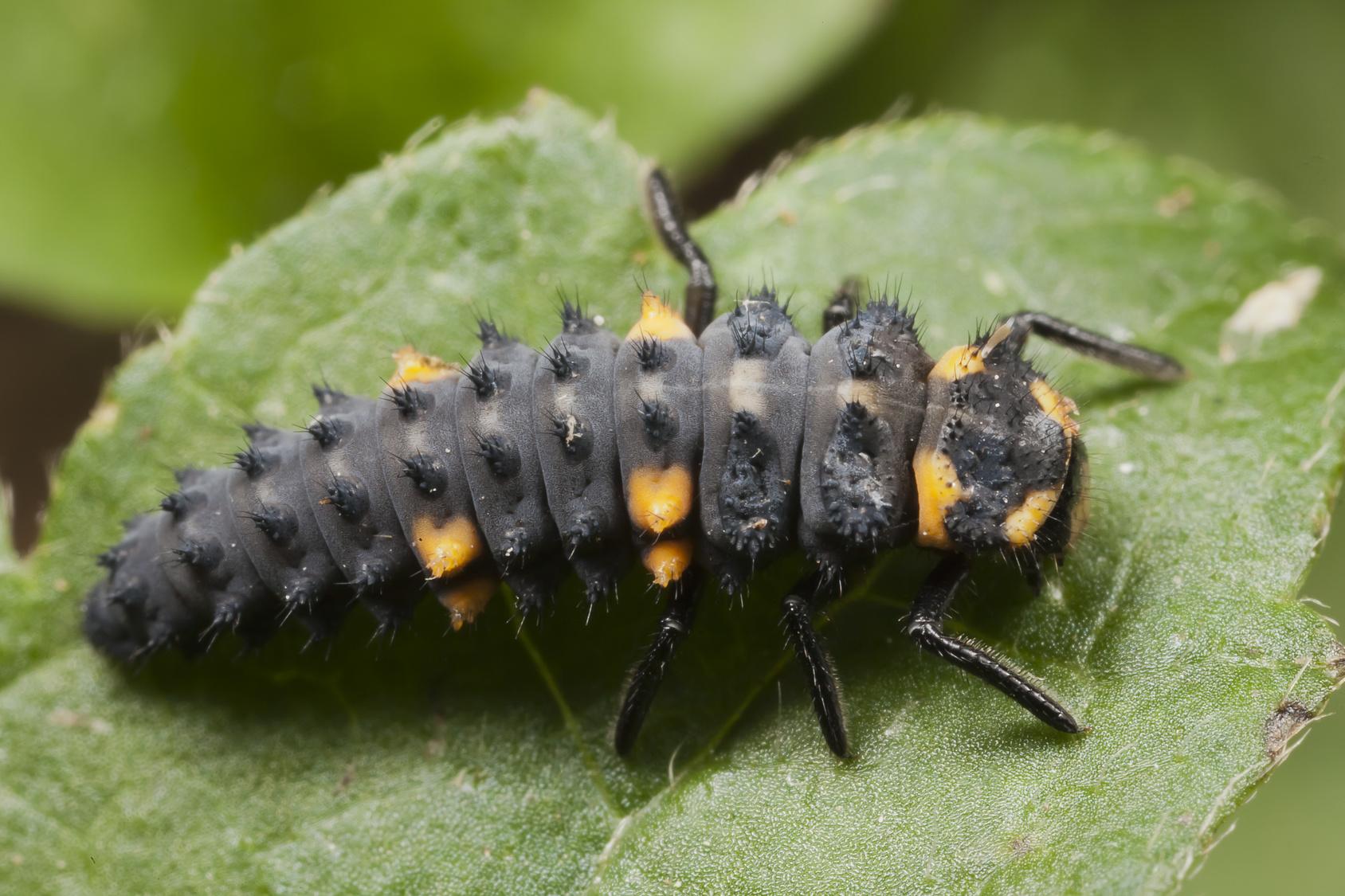 Marienkäferlarve auf Blatt