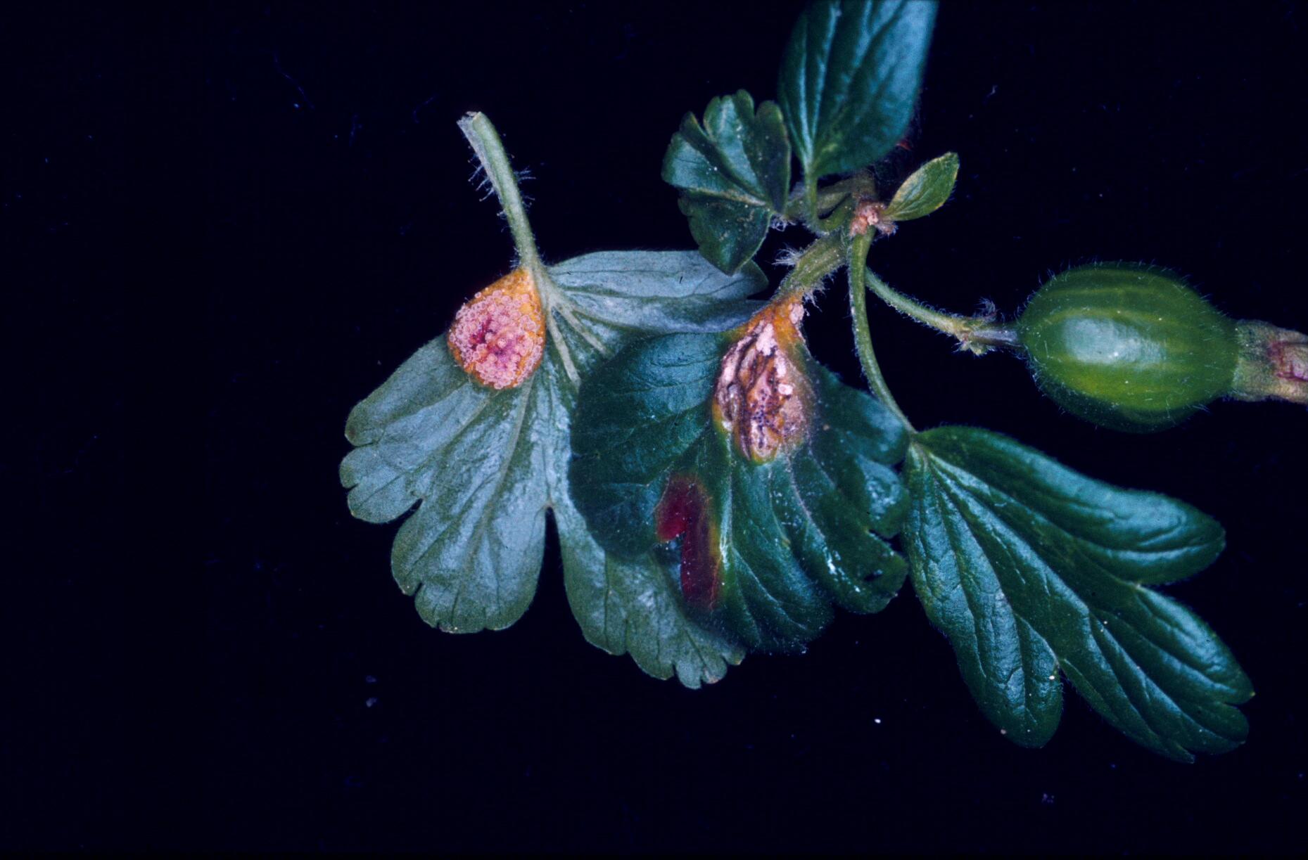 Stachelbeertriebspitze mit Blättern, davon zwei mit Stachelbeerrost befallene Blätter, und Frucht