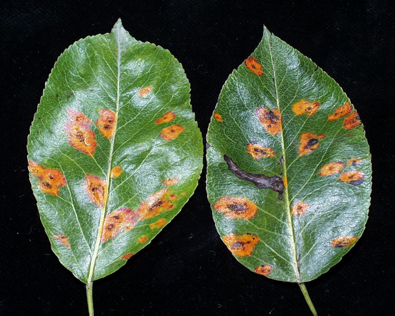 Zwei mit Birnengitternrost befallene Blattoberseiten.