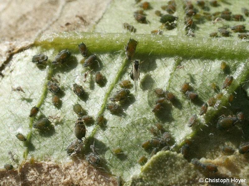 Unterseite eines Gurkenblatts mit zahlreichen Gurkenblattläusen