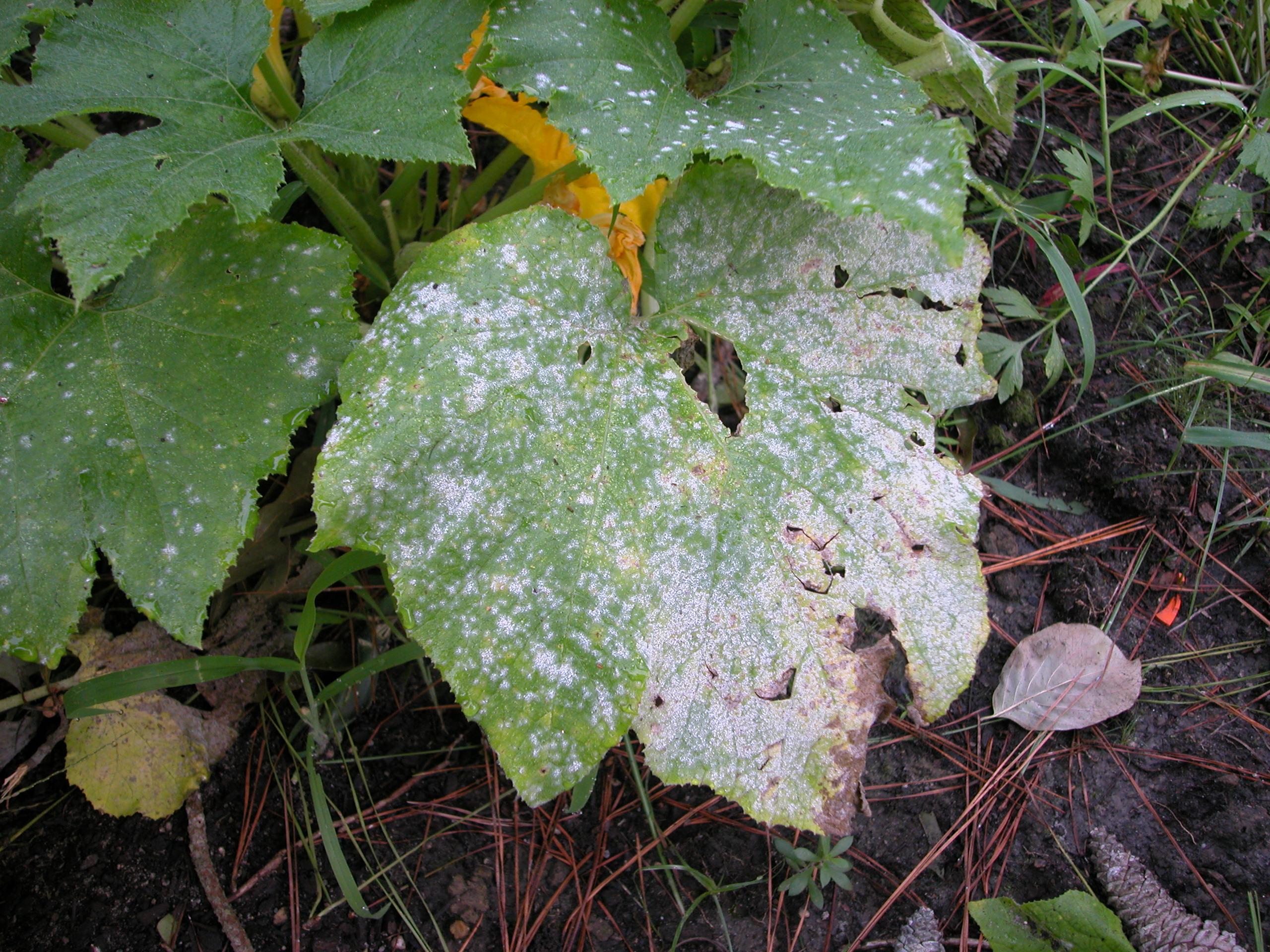 Zucchiniblatt mit Echtem Mehltau