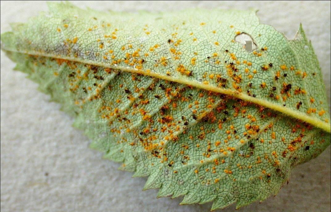 Unterseite eines Blattes mit orangen und braunen Pusteln des Rosenrosts