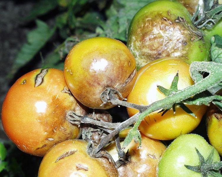 Tomatenrispe mit Kraut- und Braunfäule