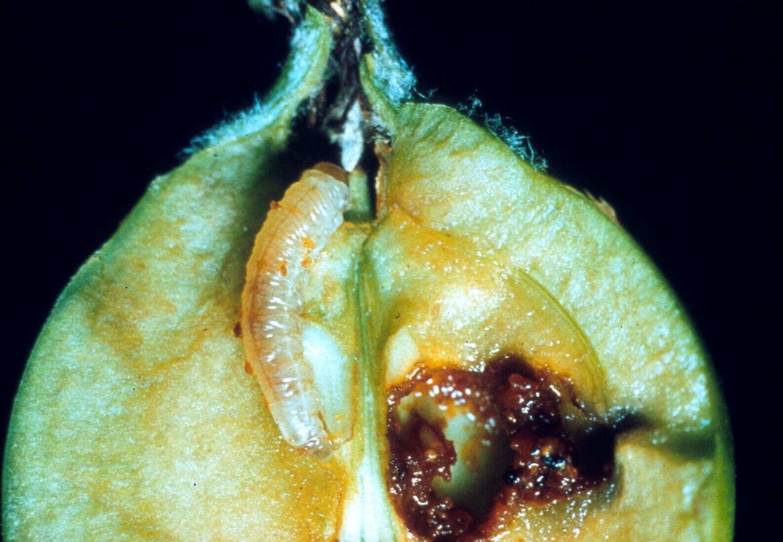 Apfelsägewespe in befallener Frucht