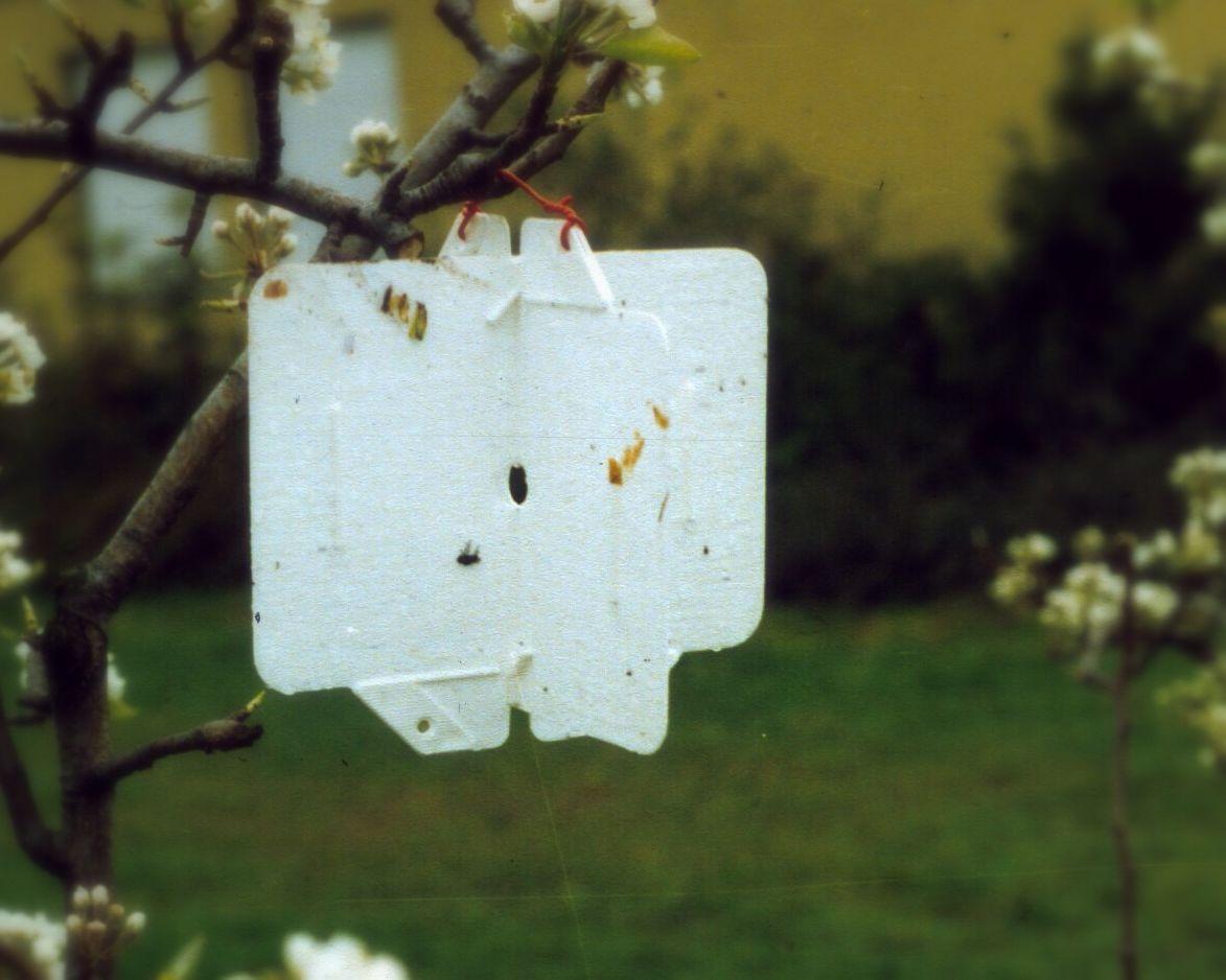 Weißtafel für die Überwachung des Flugs der Apfelsägewespe