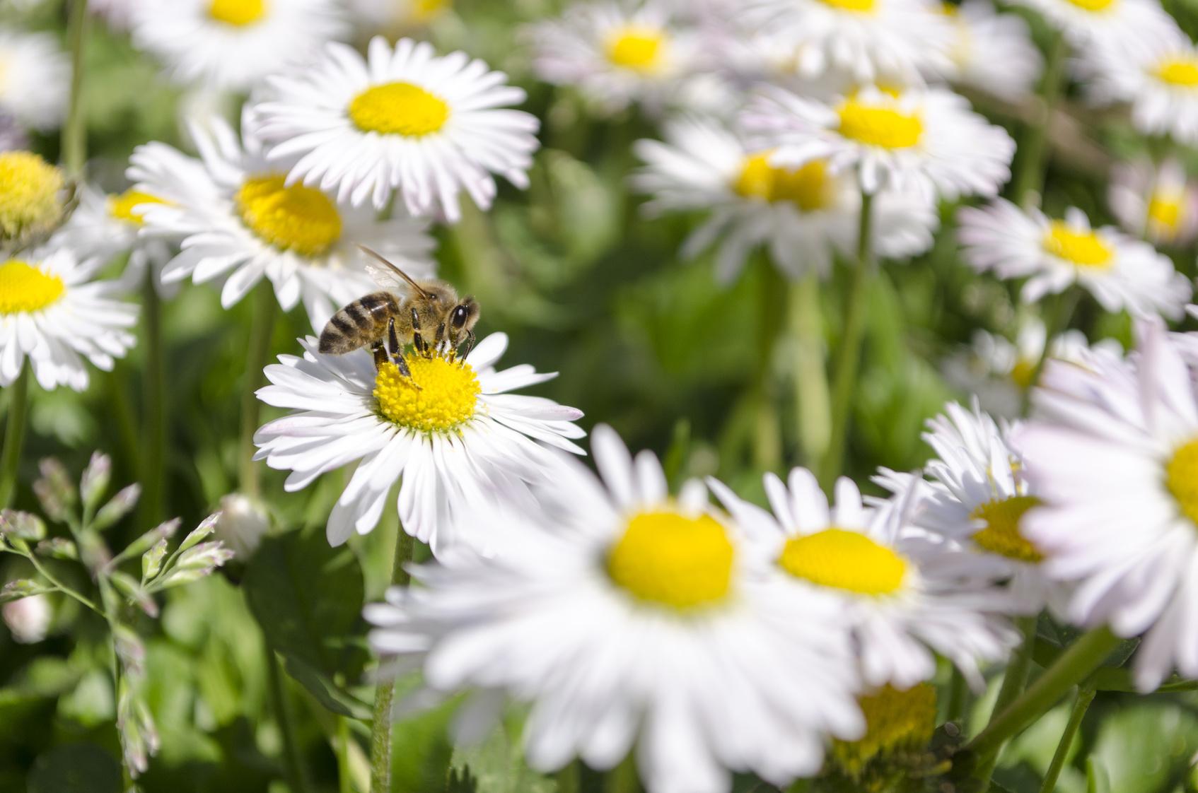 Gänseblümchen mit Biene