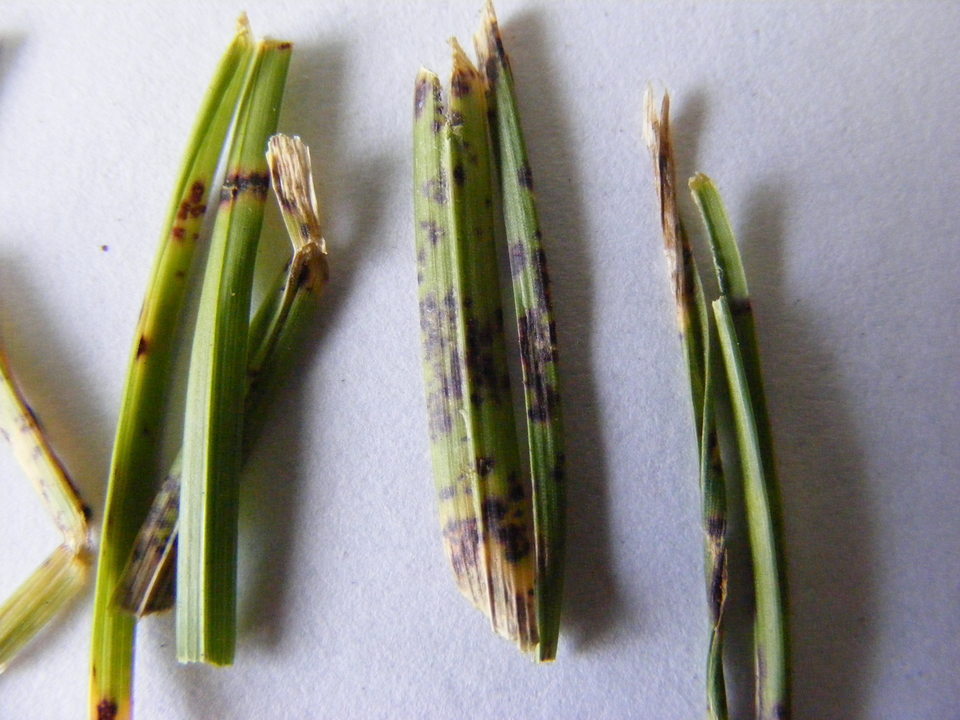 Blattflecken (Drechslera spp., Bipolaris spp., Curvularia spp.)