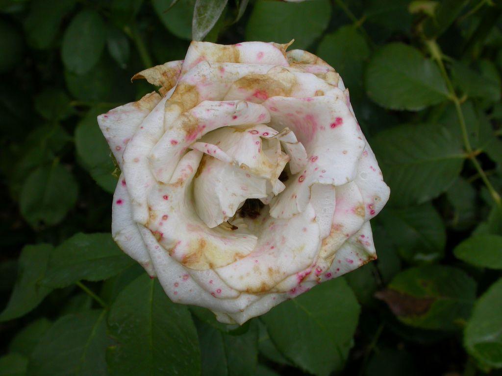 Grauschimmel an Rosenblüte