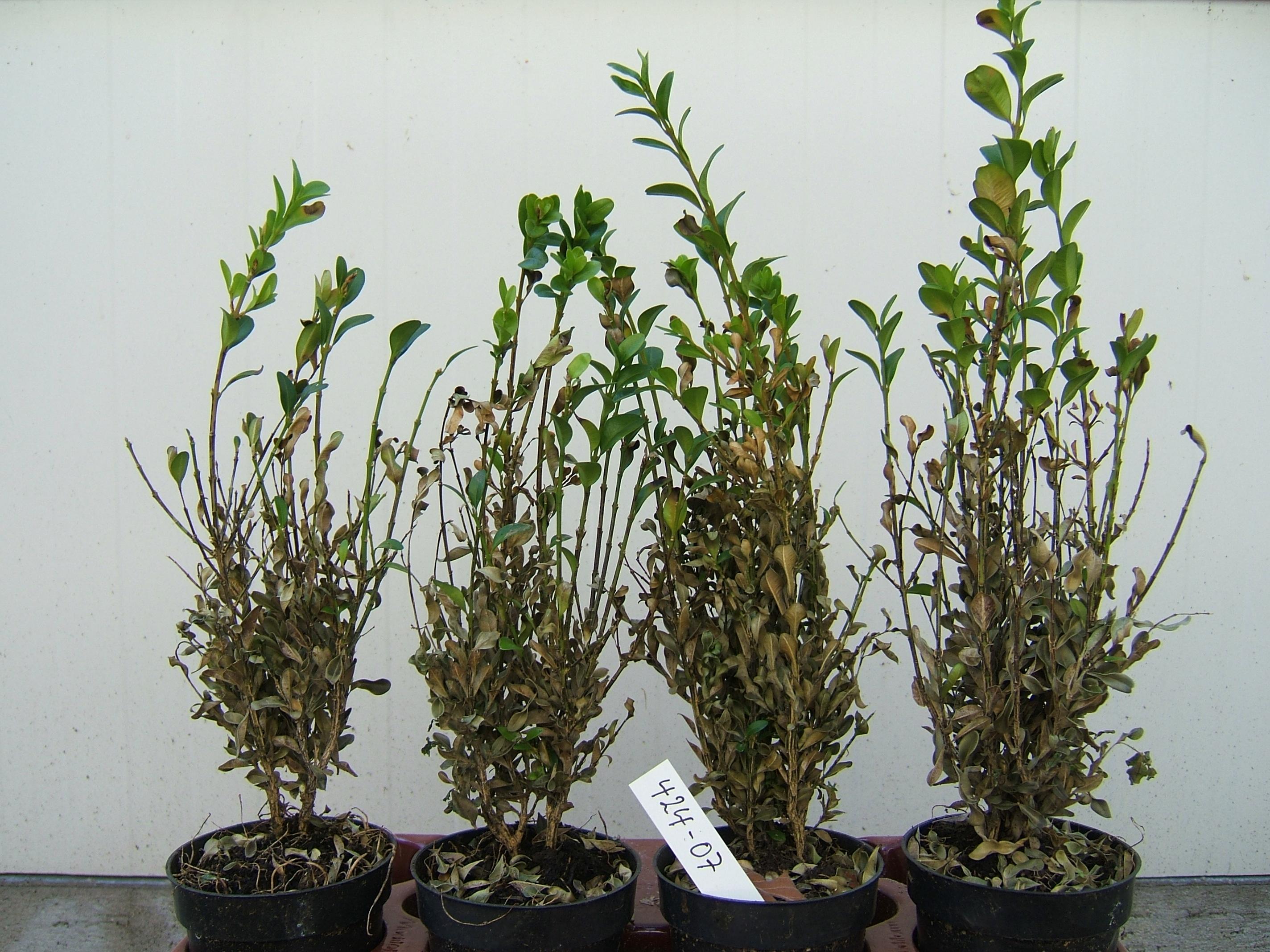 befall buchsbaum stunning befall an einem buchsbaum with befall buchsbaum free befall. Black Bedroom Furniture Sets. Home Design Ideas