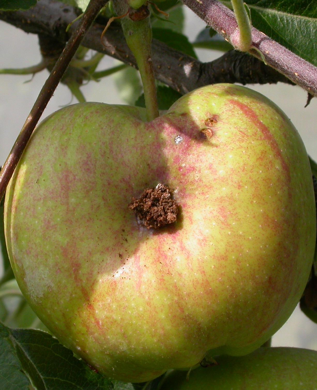 Apfelwicklereinbohrung
