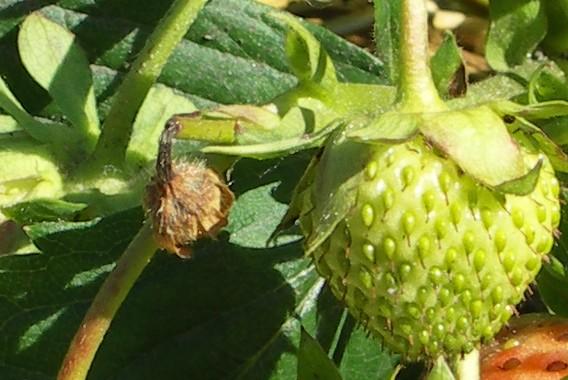 Umgeknickter Blütenstiel an einer Erdbeere