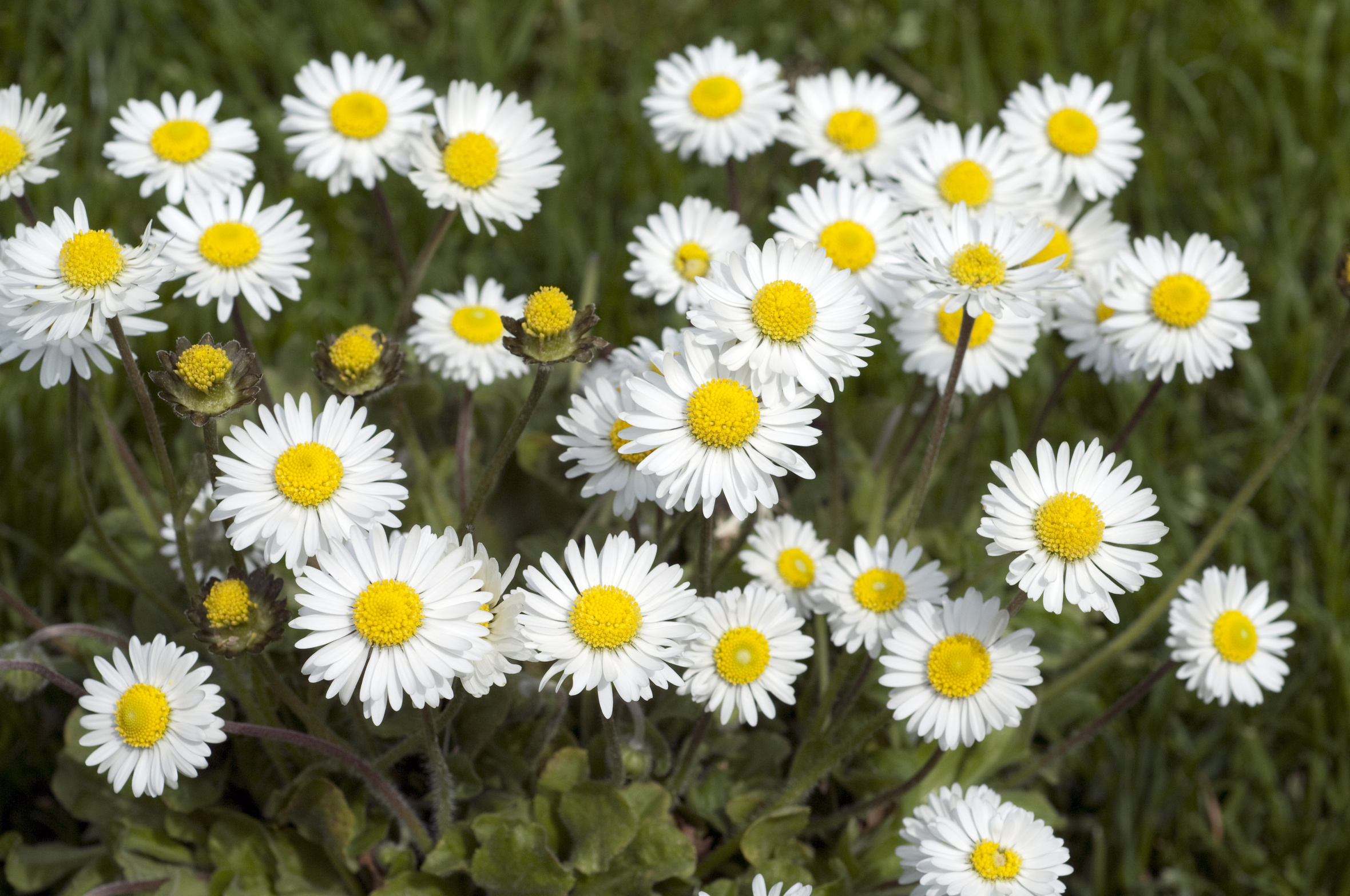 mehrere Gänseblümchen (Bellis perennis)
