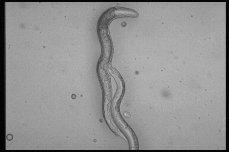 Parasitäre Nematoden der Art Phasmarhabditis hermaphrodita