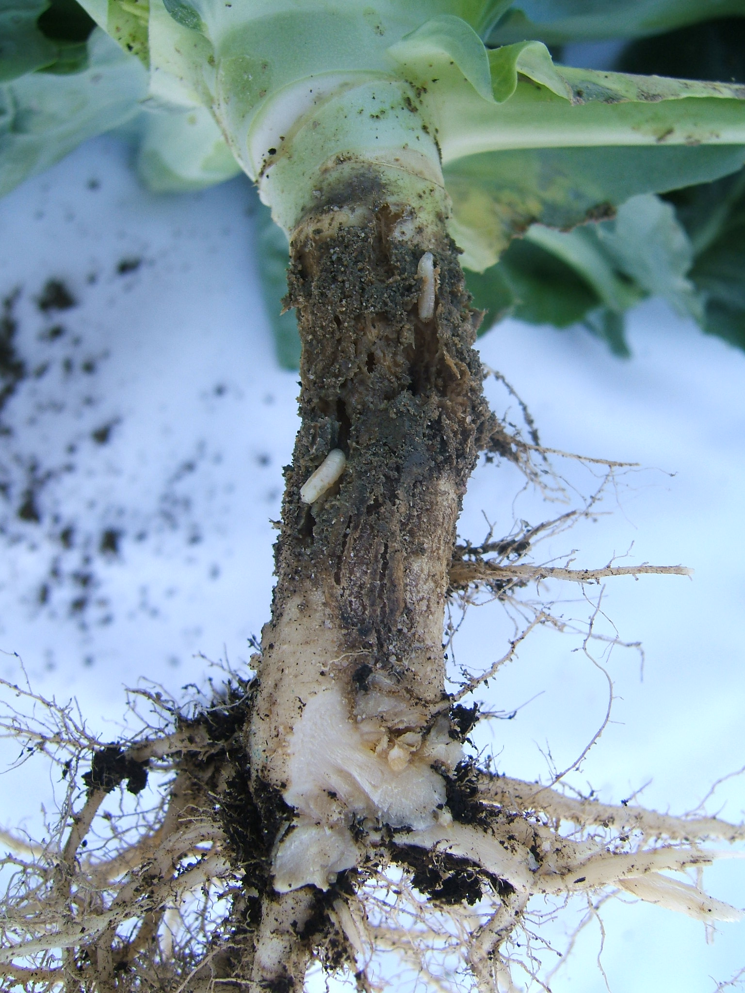 Fraßschaden einer Kohlfliegenlarve an einer Kohlwurzel.