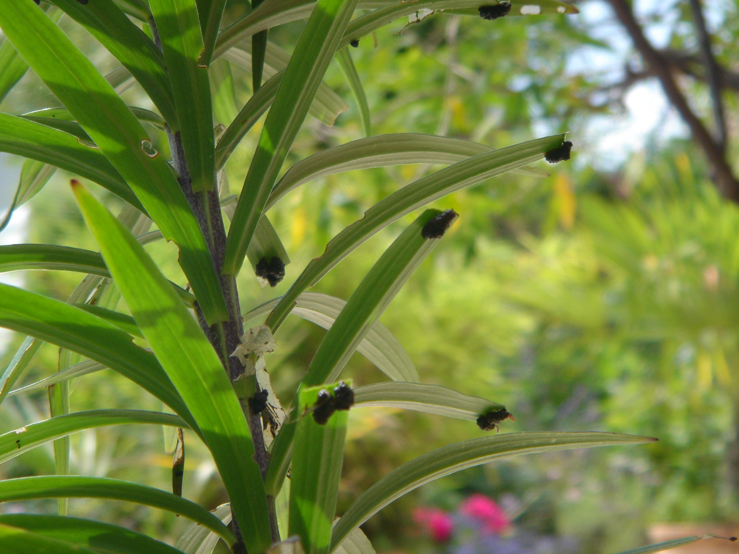 Kotbedeckte Larven des Lilienhähnchens