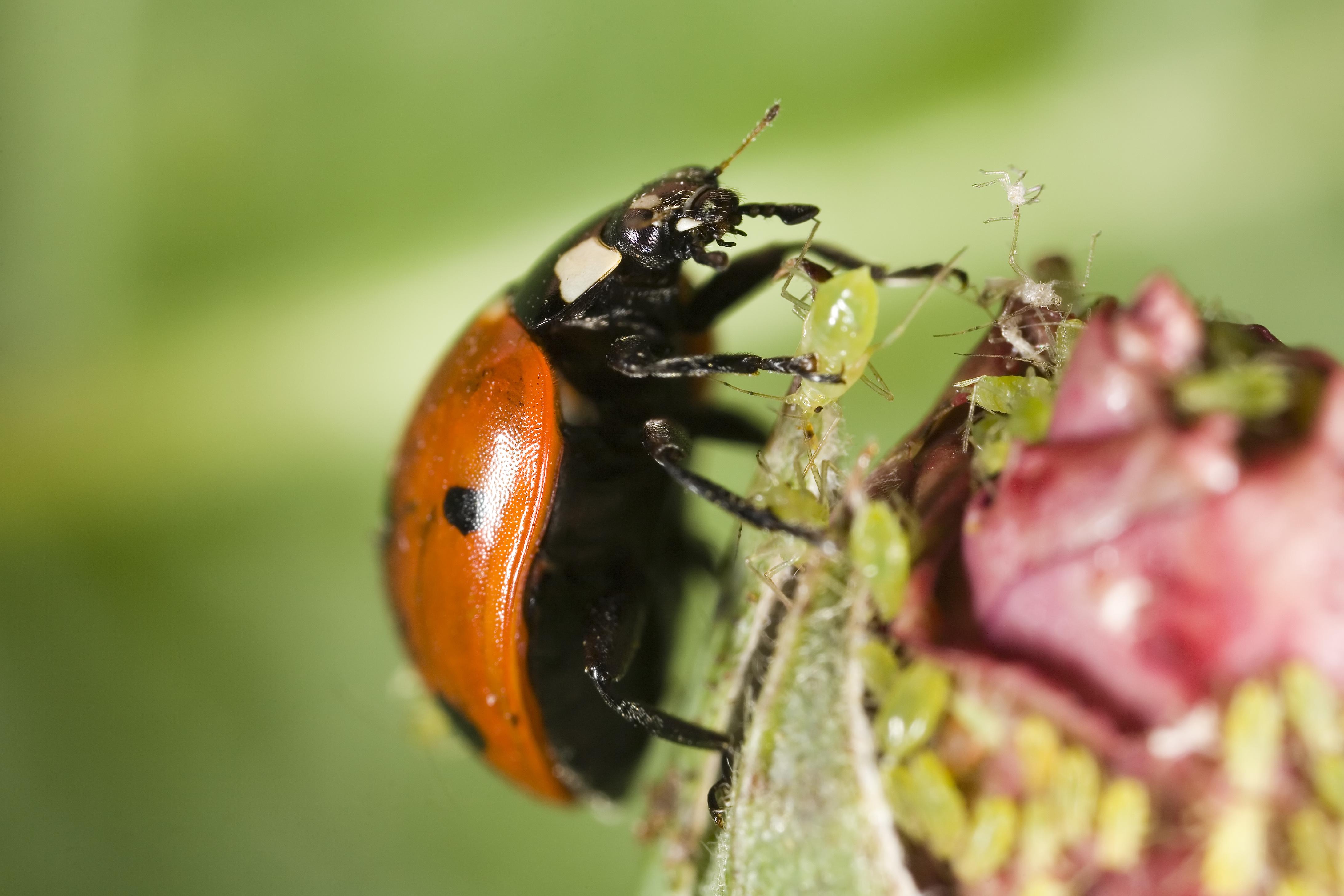 Marienkäfer auf Blüte