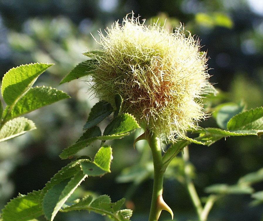 Rosengalle (grün) auf Rose