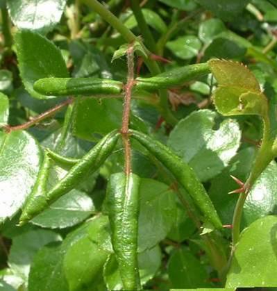 Schadbild der Blattrollwespe; eingerollte Rosenblätter
