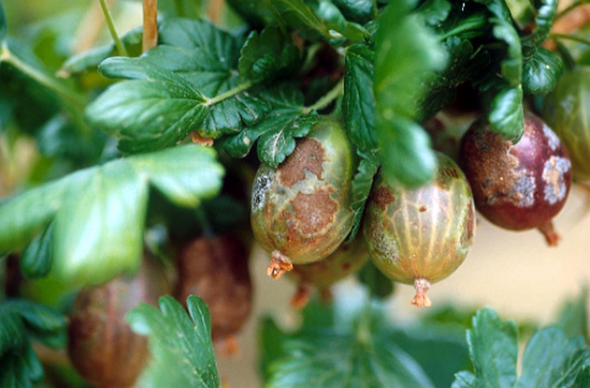 Amerikanischer Stachelbeermehltau an Beeren