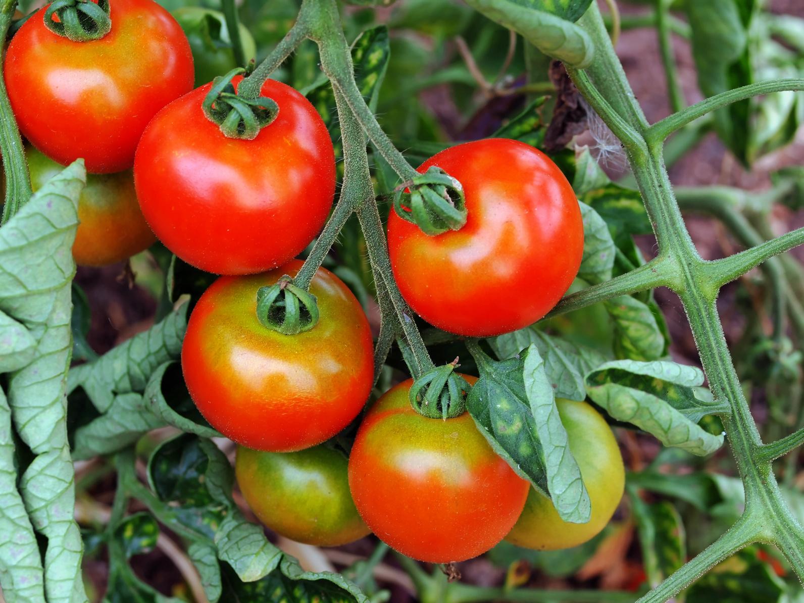 Nährstoff- und Wassermangel an einer Tomatenpflanze