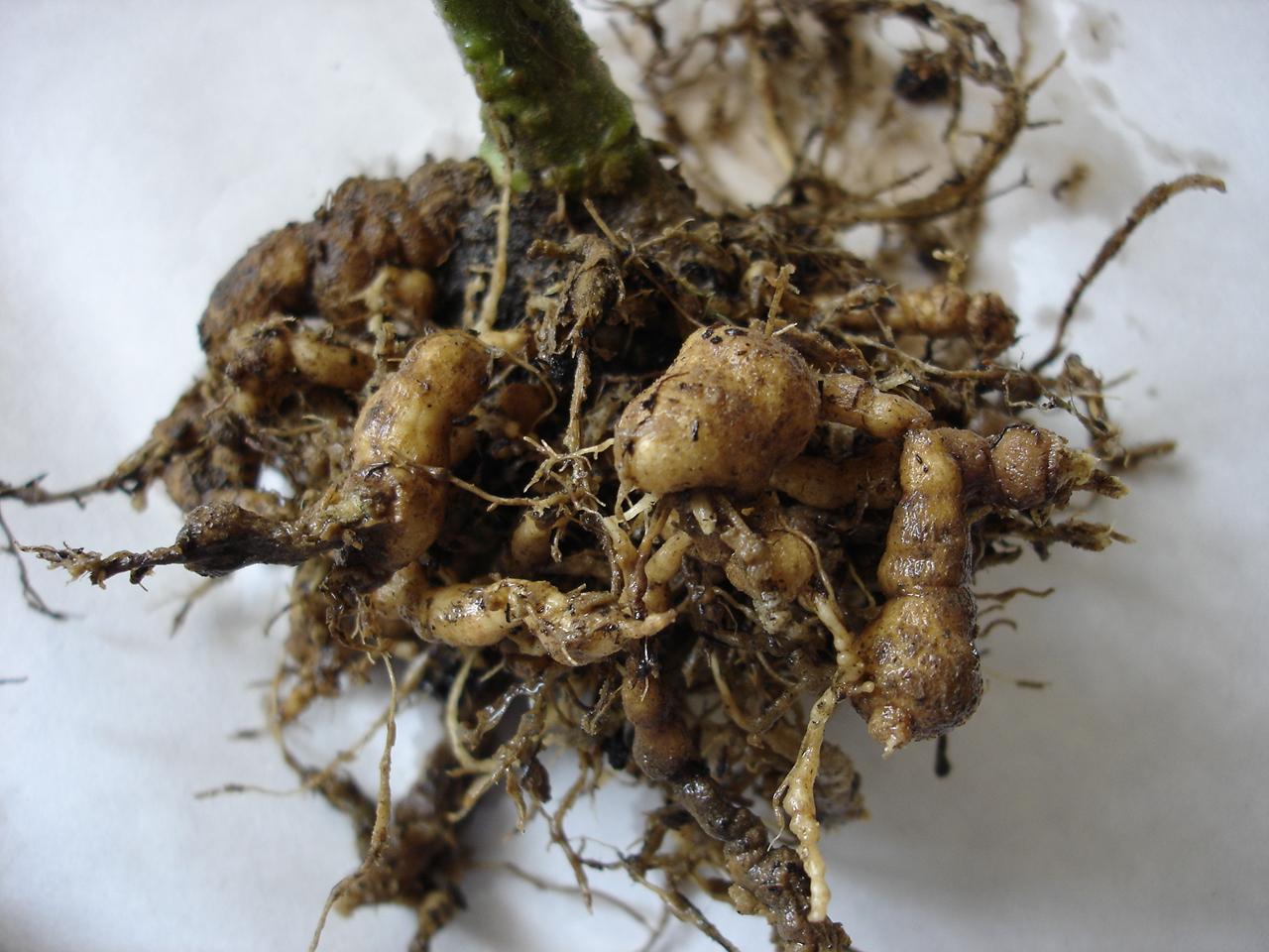 Korkwurzelkrankheit an Tomatenpflanze
