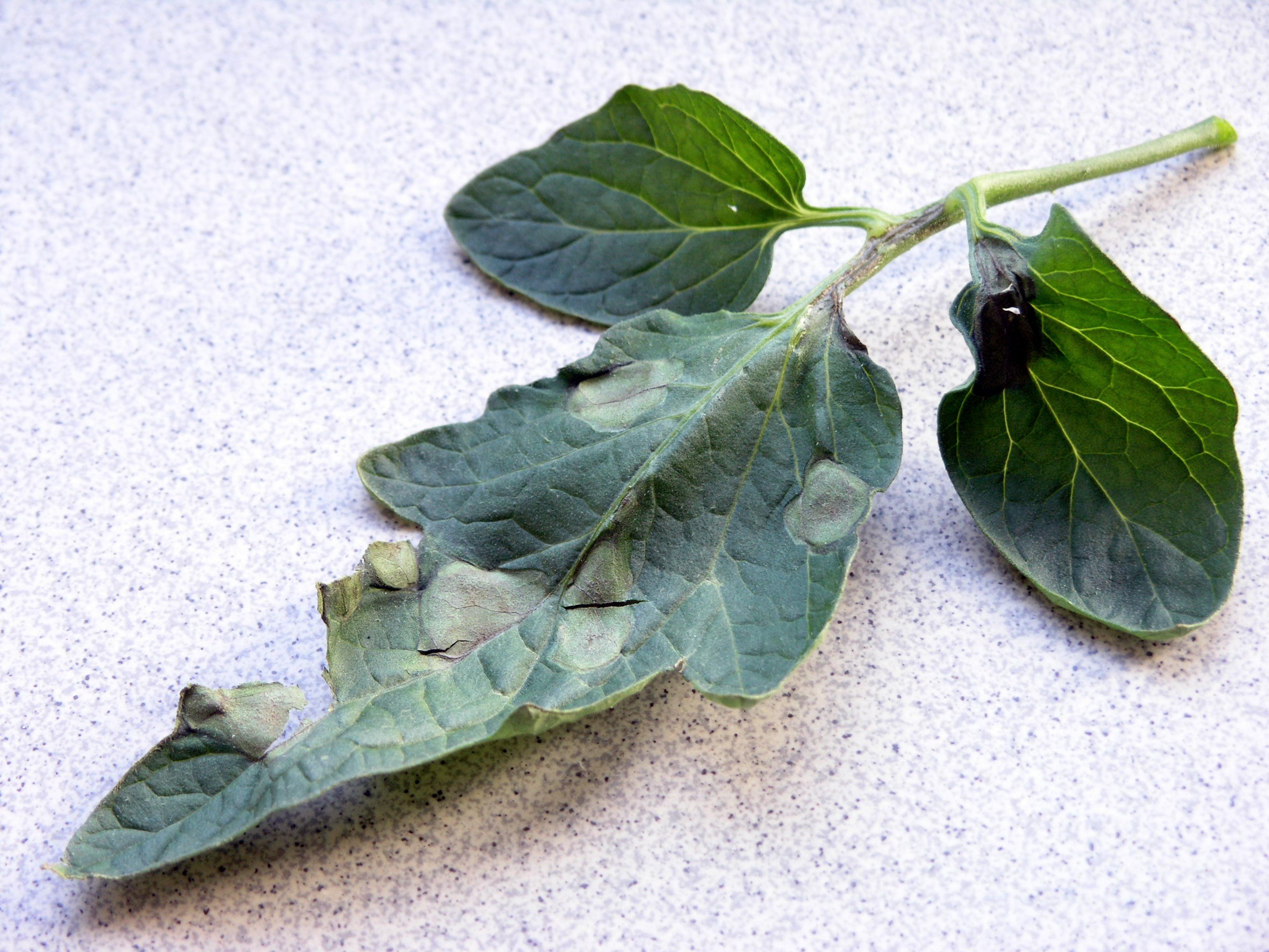 Von der Kraut- und Braunfäule befallene Tomatenblätter