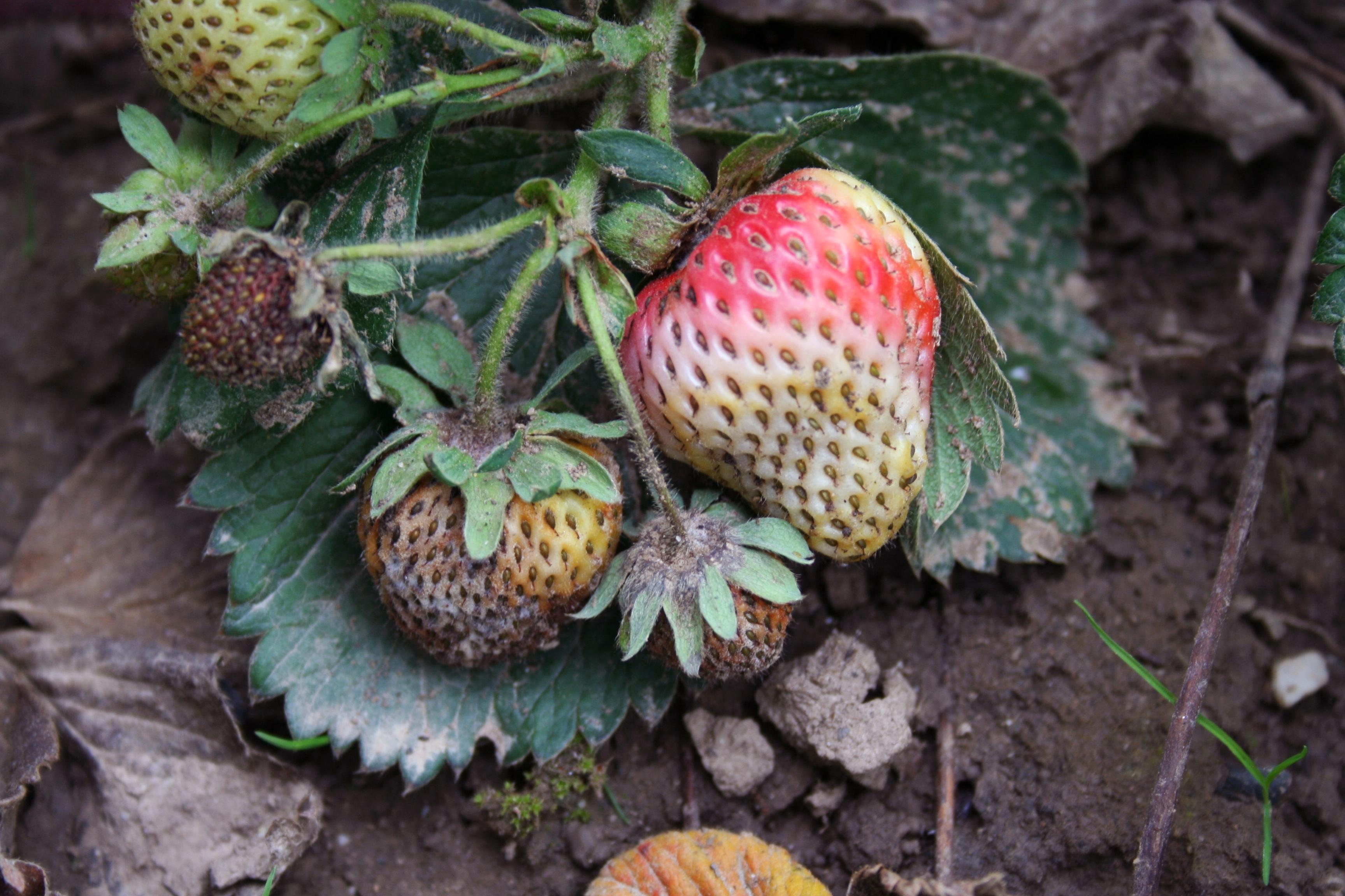 Lederbeerenfäule an Erdbeere