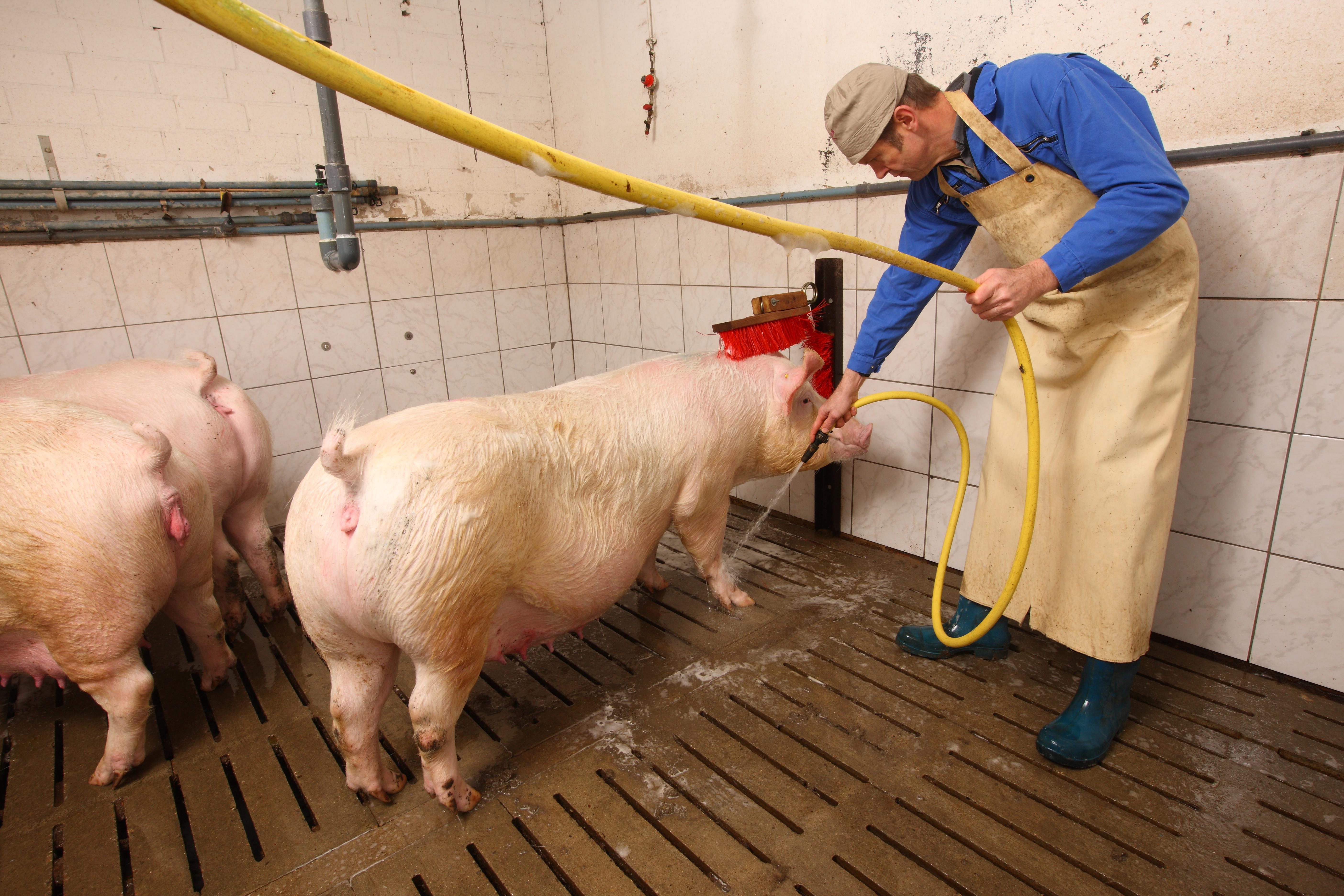 Das Bild zeigt einen weiß gekachelten Raum, in dem von einer Person in Arbeitskleidung mit Schürze und Gummistiefeln, die trächtigen Sauen abgeduscht werden.
