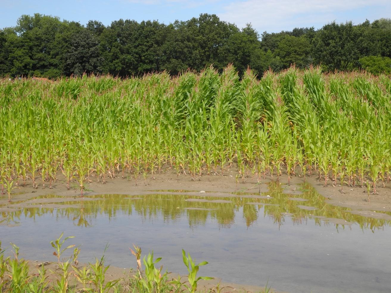 Wasser staut sich auf einem Ackerboden, so dass dort kein Mais wächst.