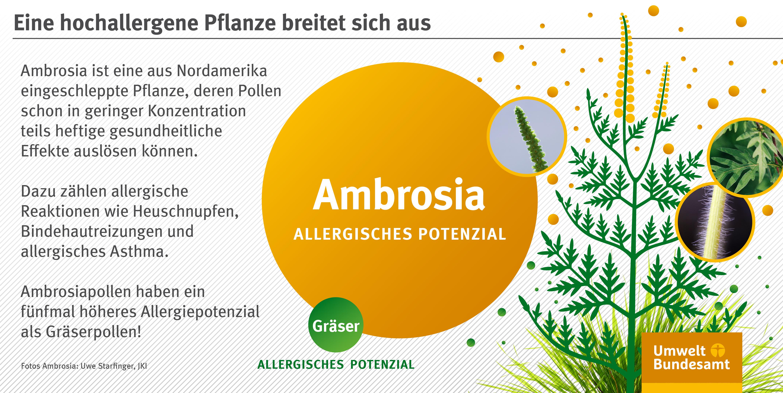 lizenz zum ausrei en jetzt ambrosia pflanzen entfernen umweltbundesamt. Black Bedroom Furniture Sets. Home Design Ideas