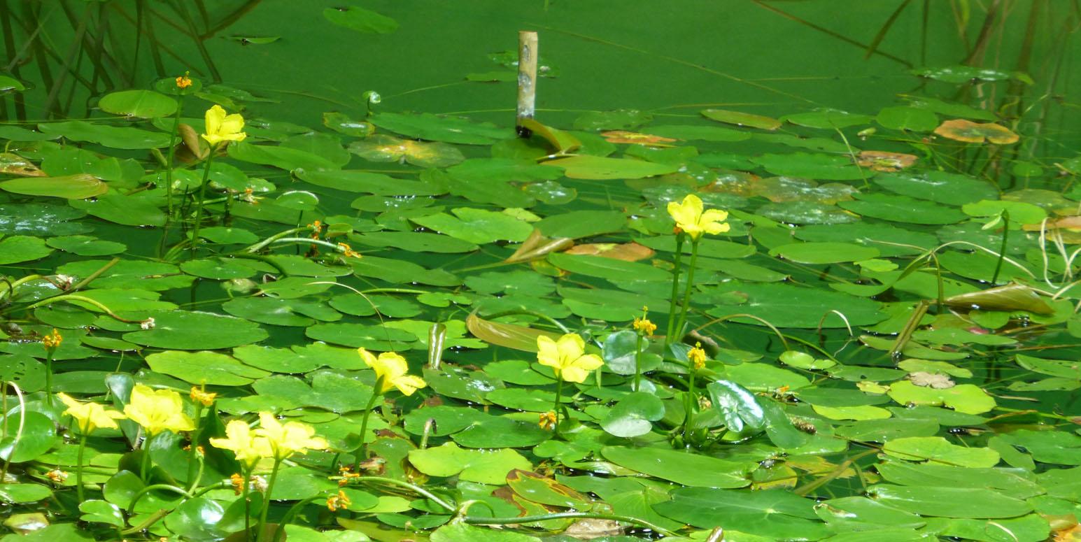 gelb blühende Schwimmblattpflanzen in einem Gewässer