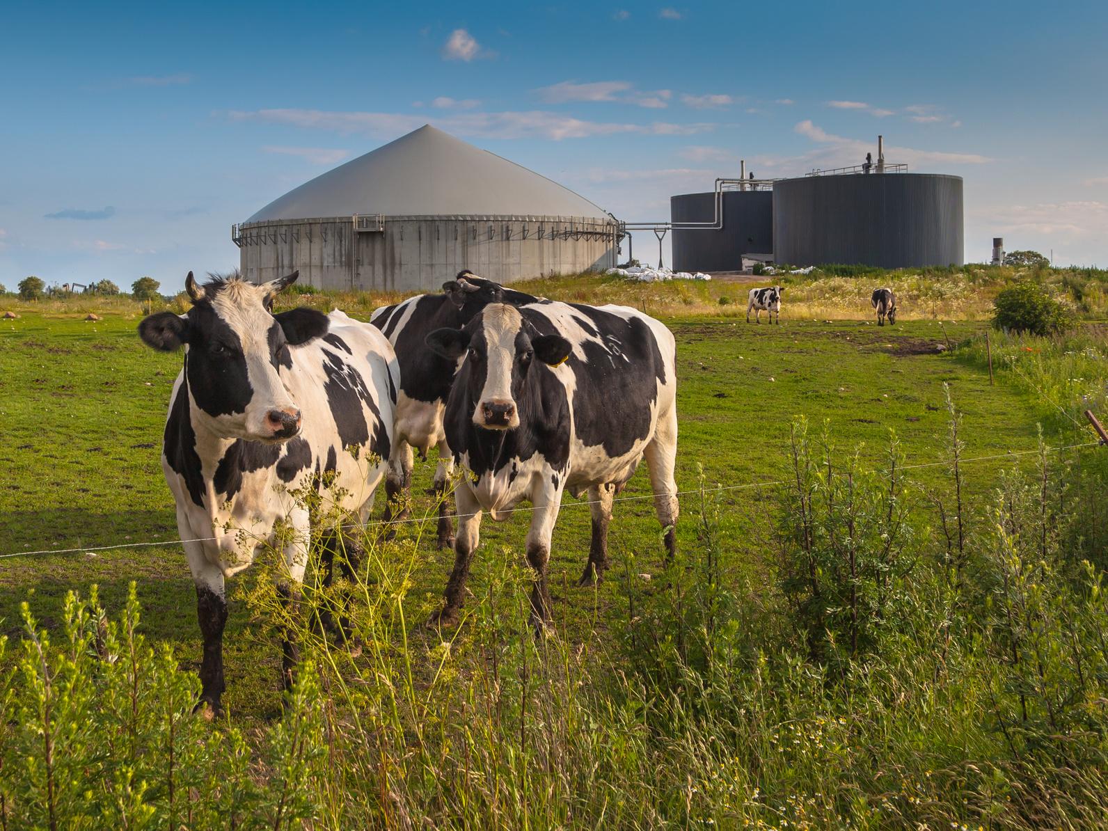 Kühe auf einer Weide, im Hintergrund eine Biogasanlage