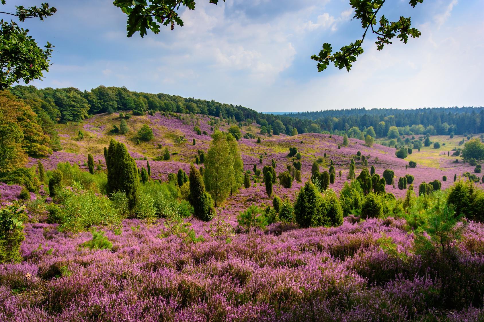 Heidelandschaft mit blühenden Heidepflanzen