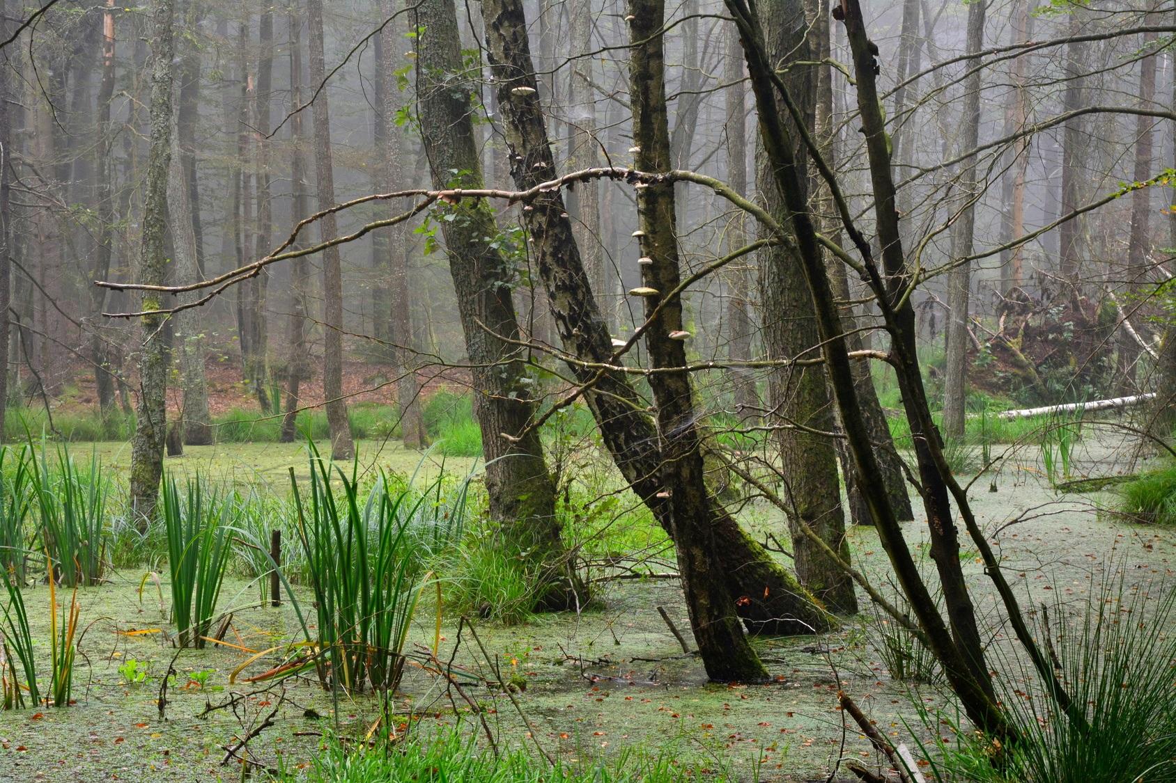 Moorwald mit stehendem Wasser und Sumpfpflanzen, an den Bäumen zum Teil Baumpilze