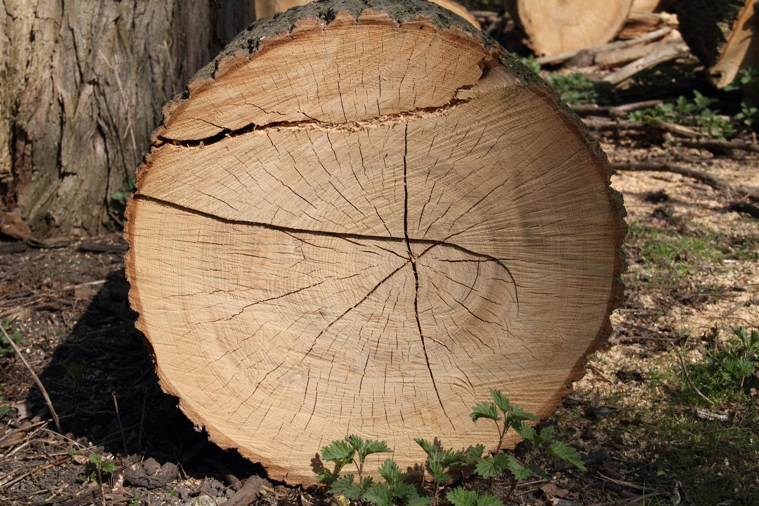 Ein gefällter Baumstamm
