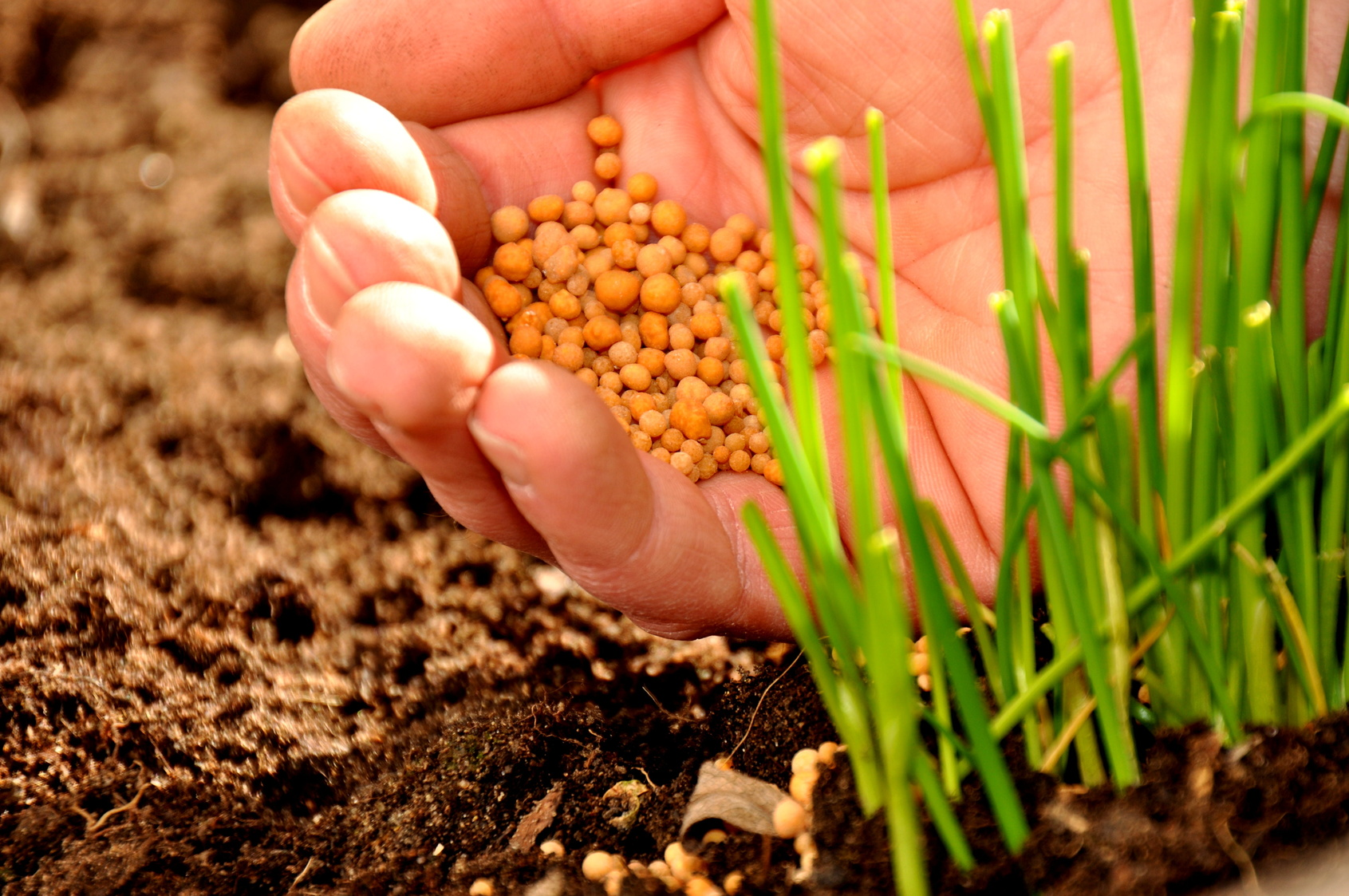 Hand schüttet Mineraldünger an die Pflanze