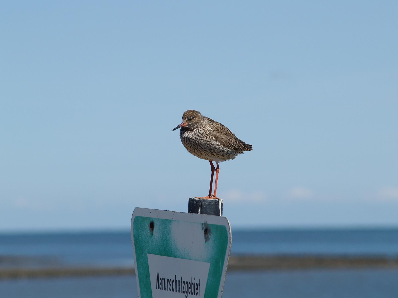 """Rotschenkel sitzt auf Pfosten im Wattenmeer mit Hinweisschild """"Naturschutzgebiet""""."""