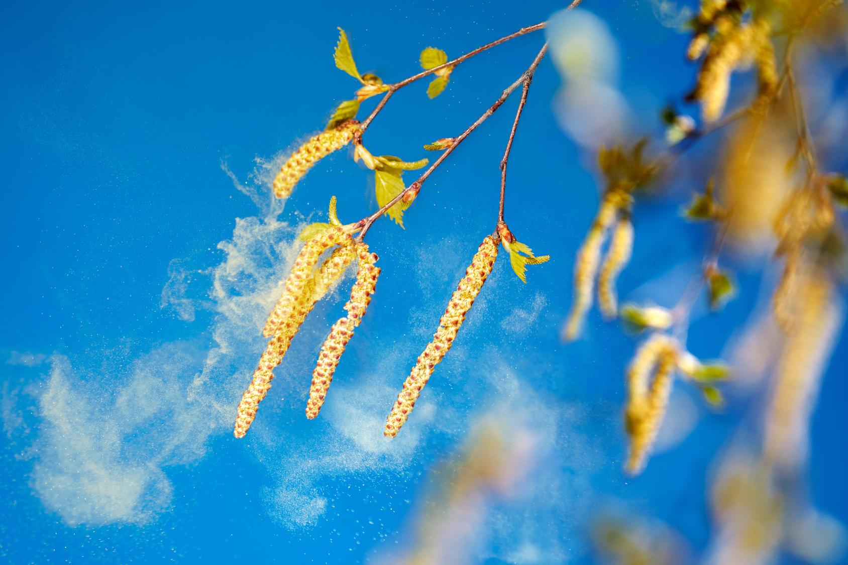 Nahaufnahme von Birkenblüten mit verdriftenden Birkenpollen vor blauem Himmel.