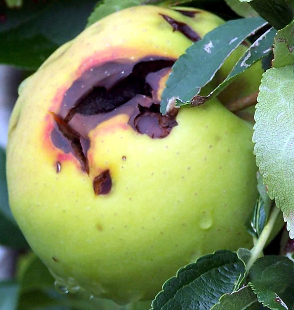 Apfel mit Faulstelle um Hagelschlagschaden.