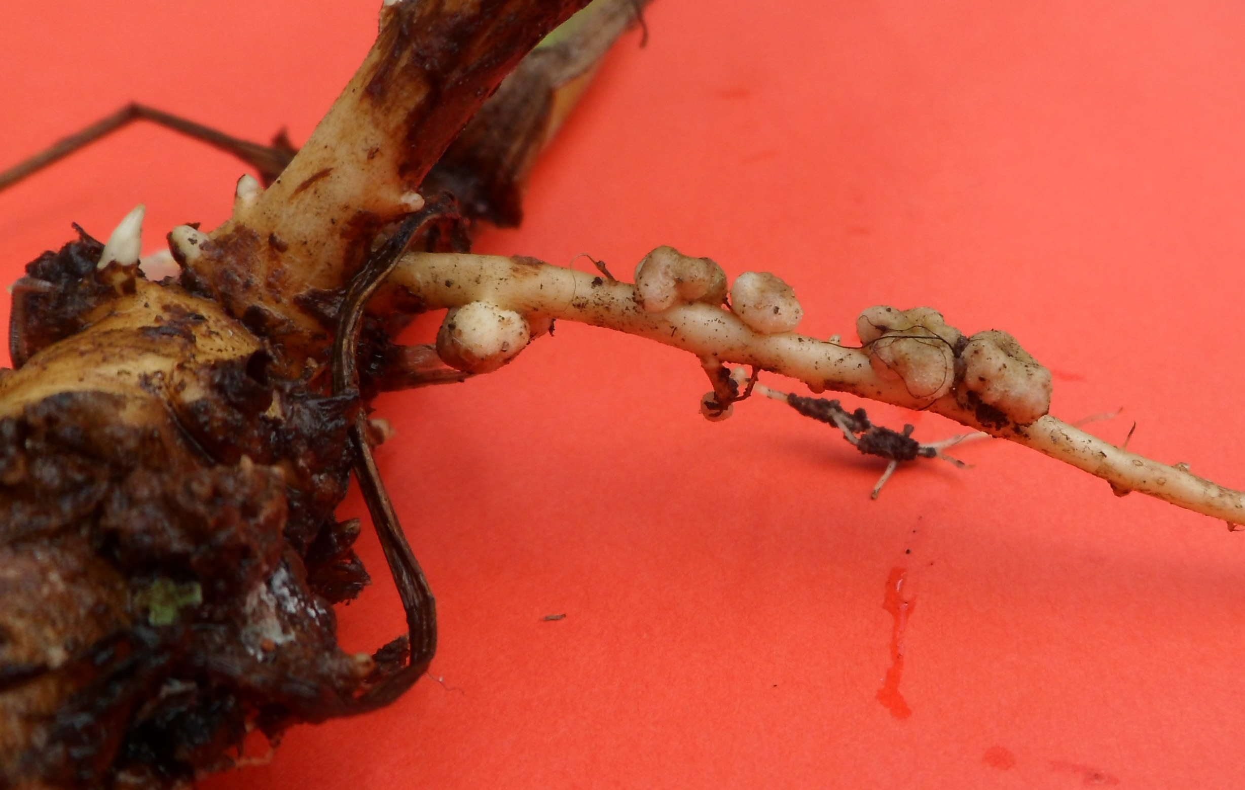 A photo of a tuber in which microorganisms and roots have formed a symbiosis.