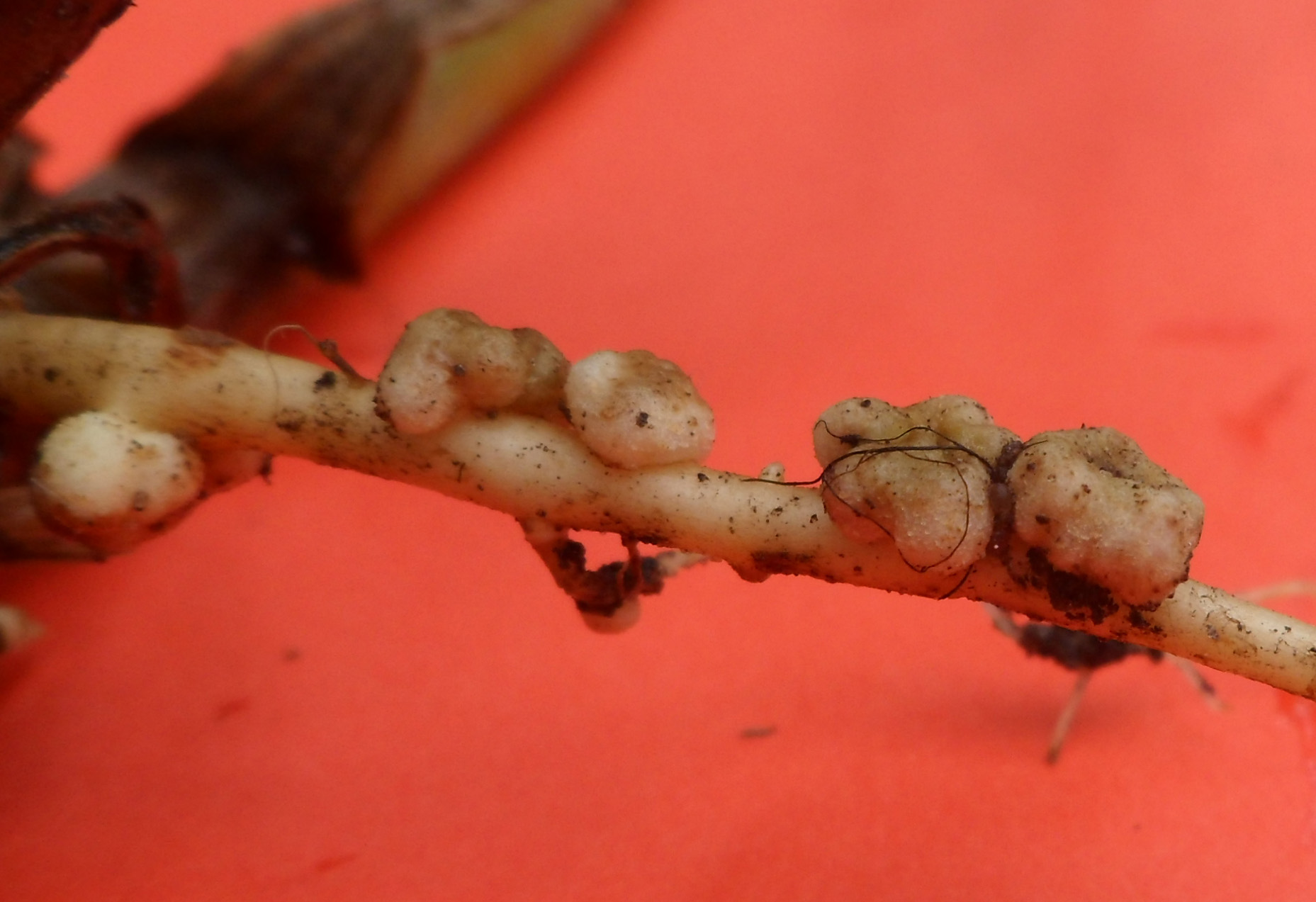 Close-up of a knob on a plant root, that shows the symbiosis between root and microorganism