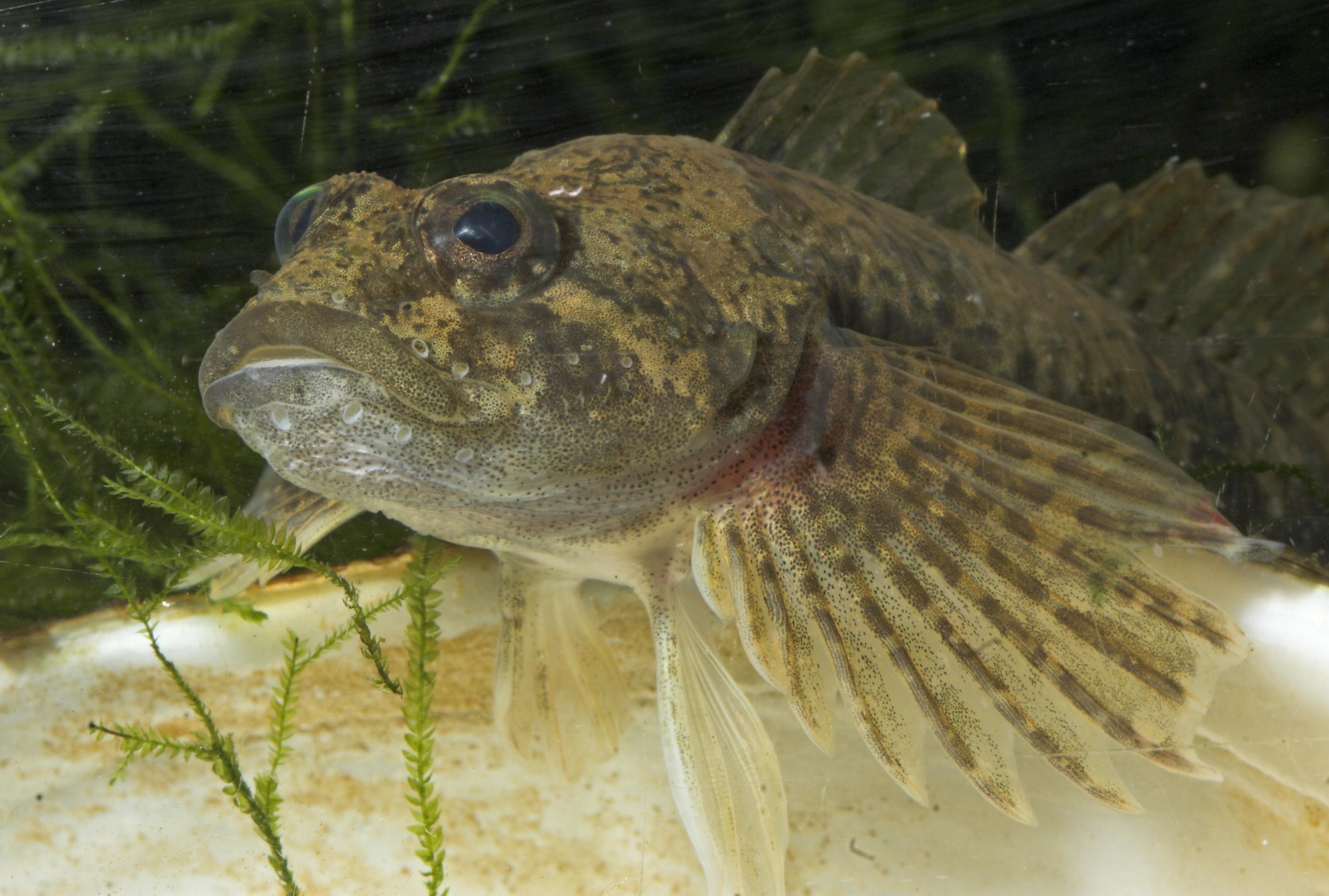 Nahaufnahme eines hellgeblichen, durchsichtigem Fisch mit weitaufgefächerten Vorderflossen