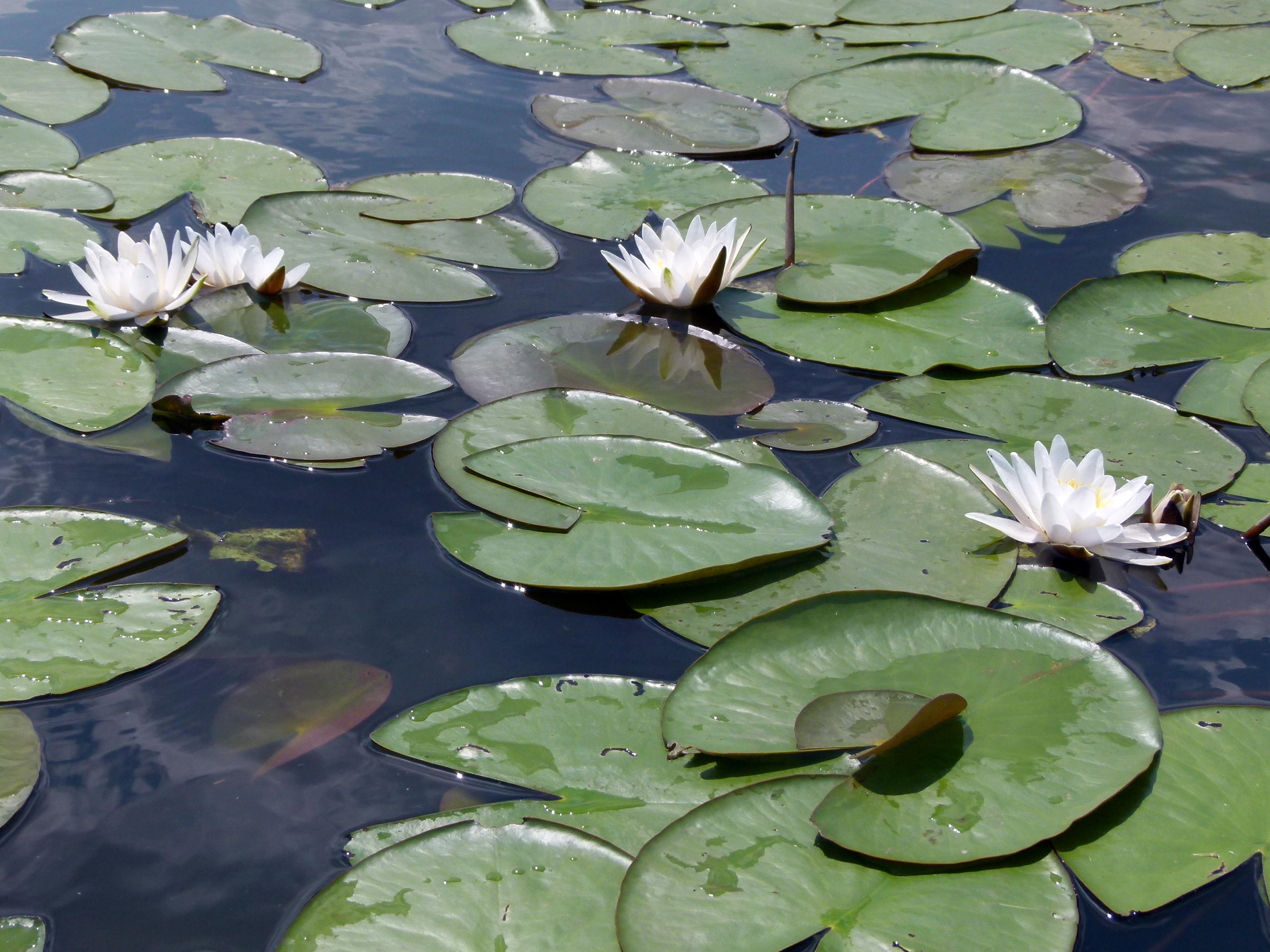 Große grüne Seerosenblättern mit einigen weißen Blüten