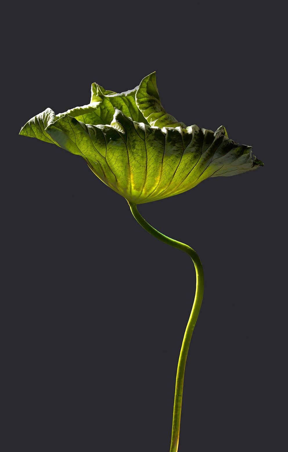 Lotusgewächs