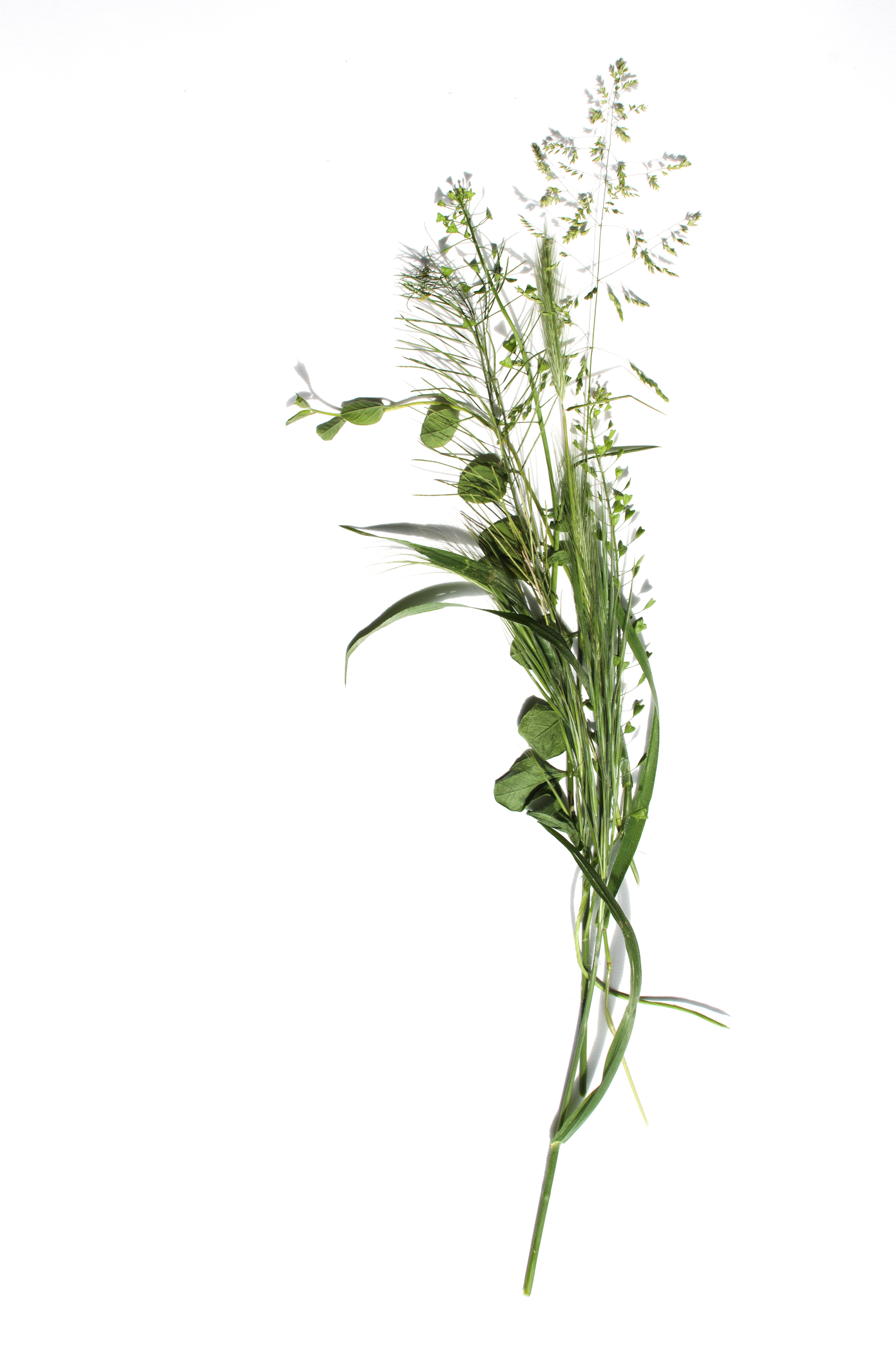Foto: herbizidresistente Pflanze
