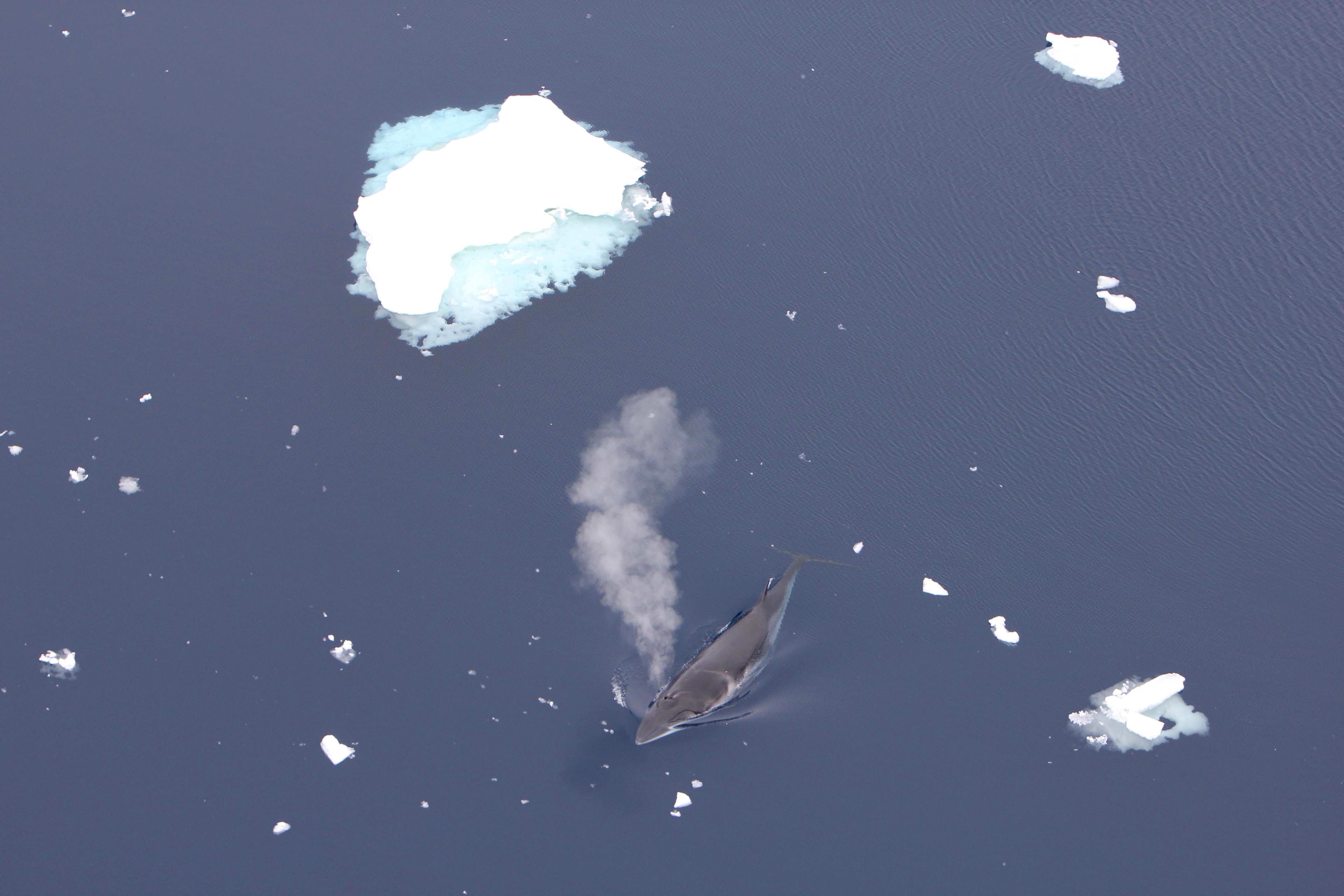 Ein Zwergwal stößt Blas, also Atemluft aus. Neben ihm im Wasser schwimmen Eisschollen.