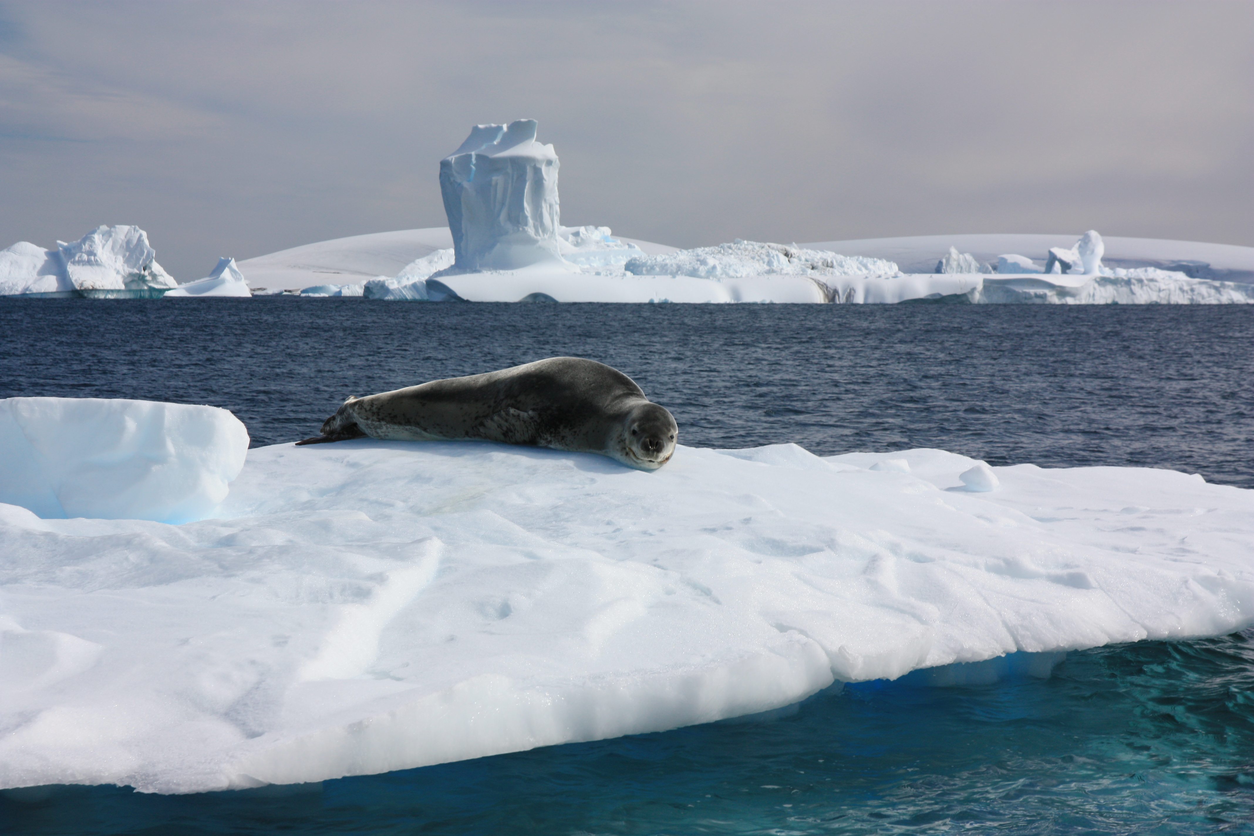 The sea leopard is one of six seal species which live in the Antarctic.