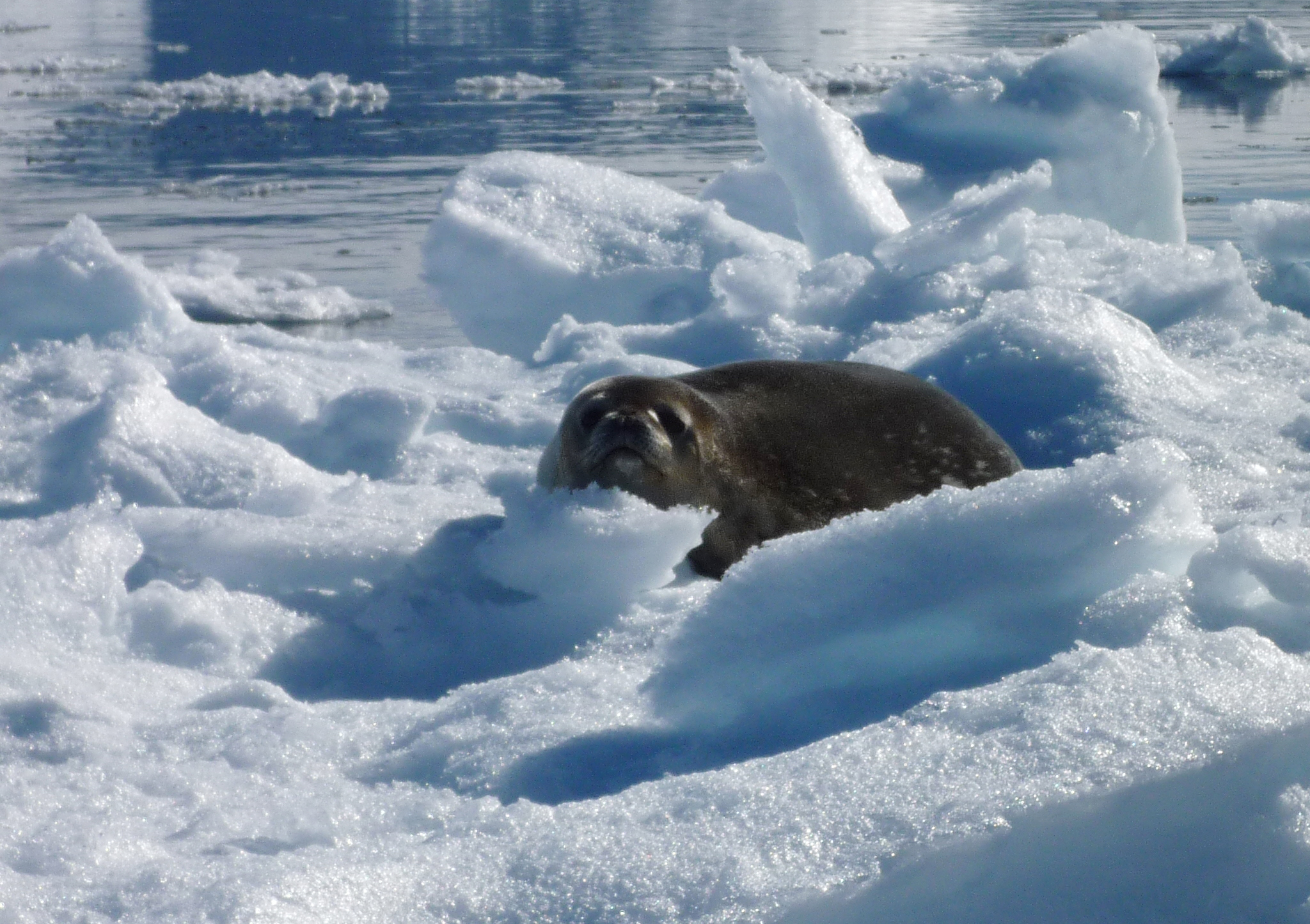Seals are the only mammals besides whales which live in the Antarctic.